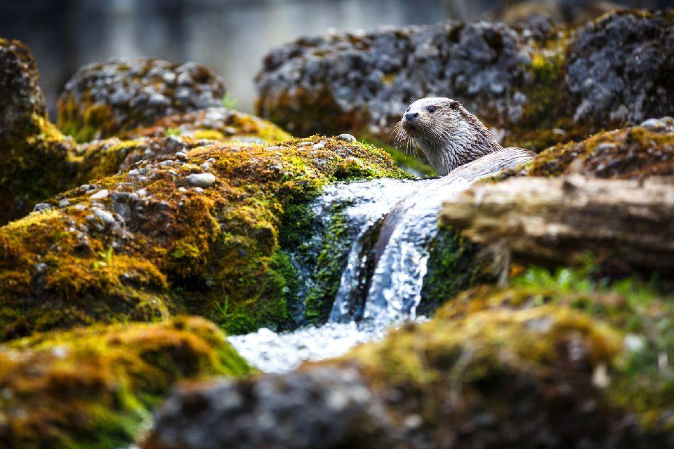 La fauna , Nutrias en el Otter Trust del condado de Durh , Reino Unido