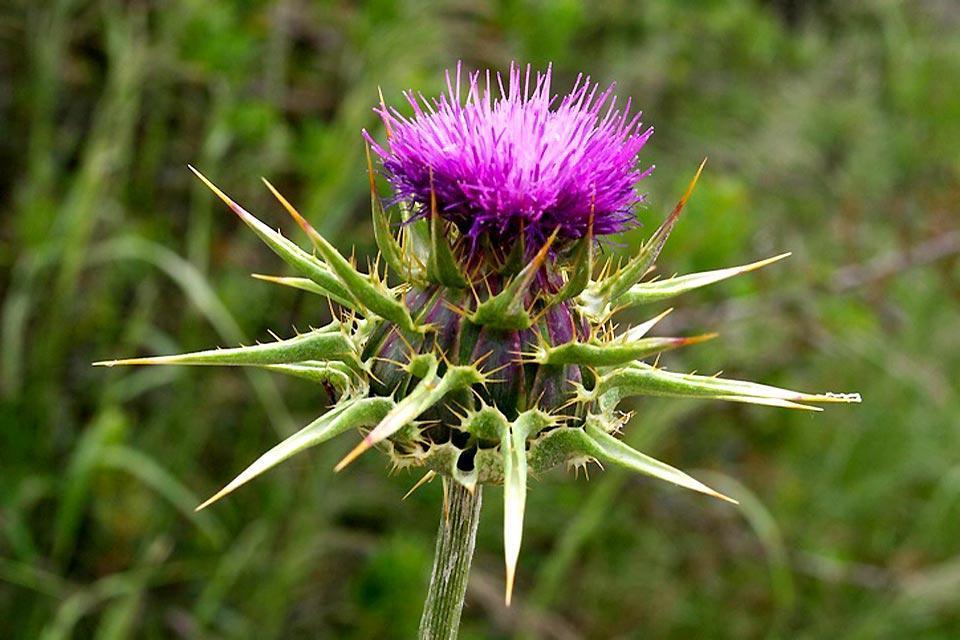 Die Flora , Die Mariendistel , Großbritannien