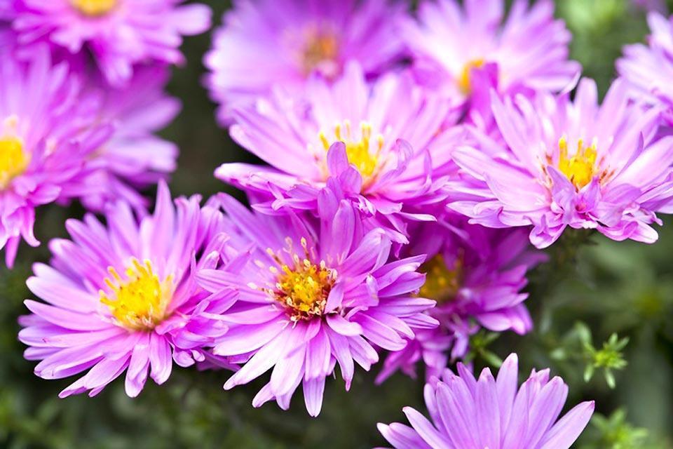 La flora , Flor rosa, Inglaterra , Reino Unido