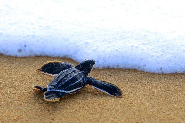 Die Lederschildkröte, Lederschildkröten, Die Fauna, Französisch-Guyana