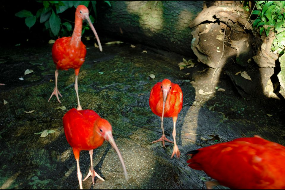 , Red Ibises, The fauna, Guiana