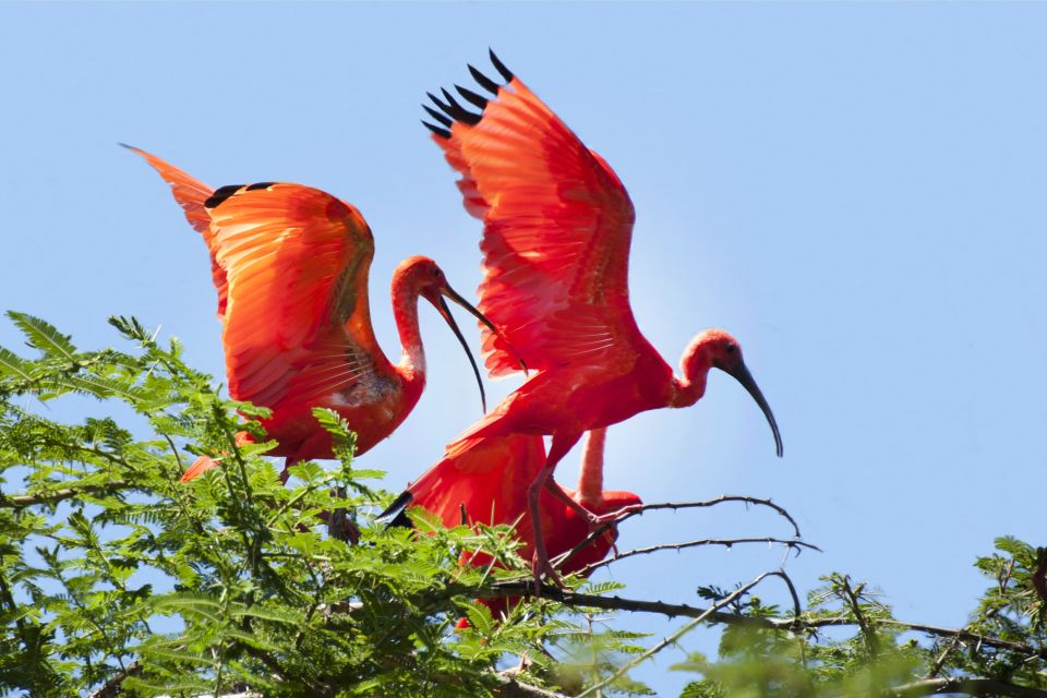 The flight of the red ibis, Red Ibises, The fauna, Guiana