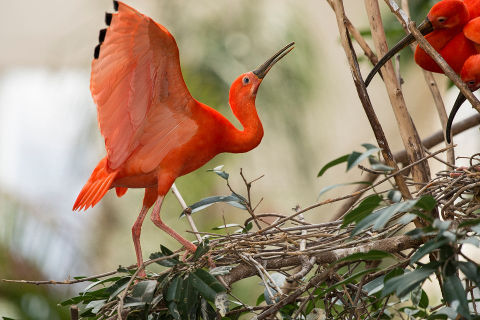 Red Ibises, The fauna, Guiana