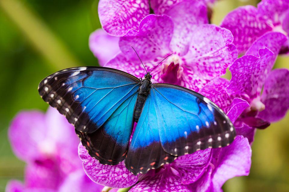 Morpho butterflies, Grabrielle creek, The fauna, Guiana