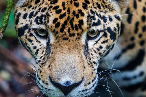 Der guyanische Jaguar, Der Jaguar, Die Fauna, Französisch-Guyana