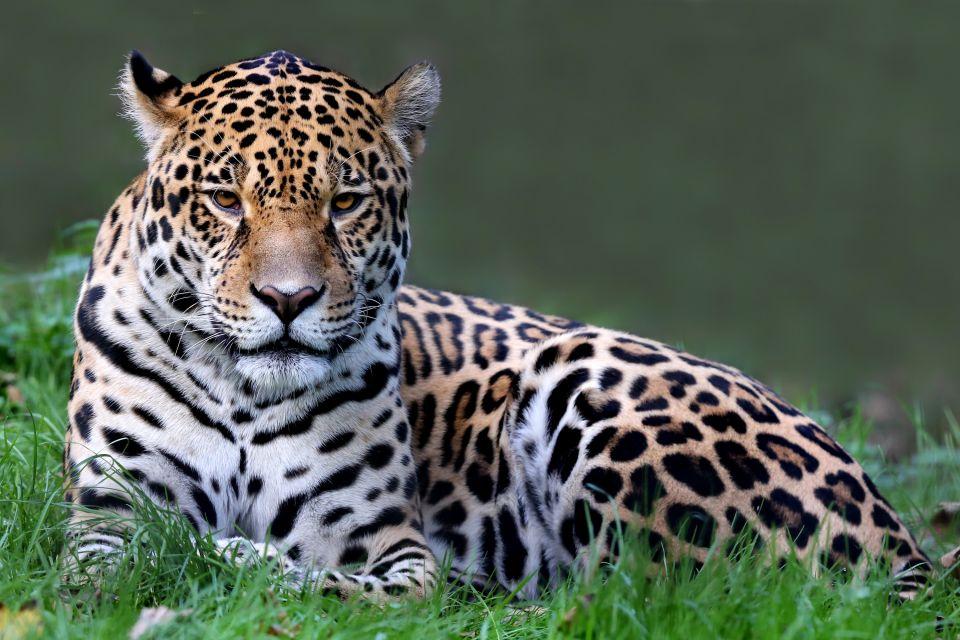 Le Jaguar Guyane