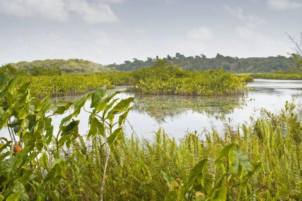Die Sümpfe von Guyana, Die Sümpfe, Die Flora, Französisch-Guyana