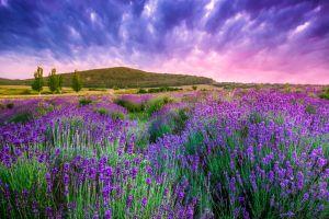 Les paysages, hongrie, europe, transdanubie, Tihany, fleur, flore, lavande, agriculture, campagne