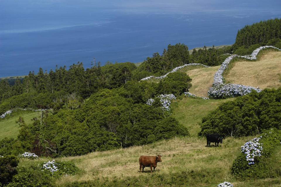 La flora , Le specie endemiche delle Azzorre , Portogallo