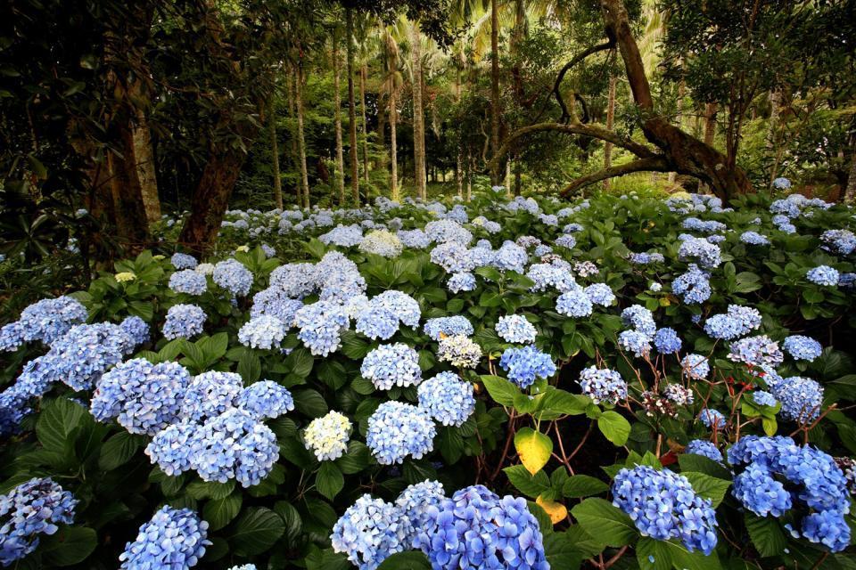 La flora , Le Ortensie, Faial, Azzorre , Portogallo
