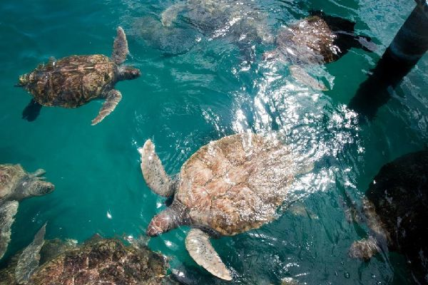 Cayman Turtle Farm (Grand Cayman) , Iles Cayman