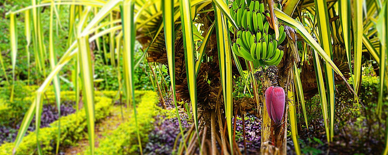 La faune et la flore, ile, cook, pacifique, végétation, flore, jardin, botanique, bananier, fruit