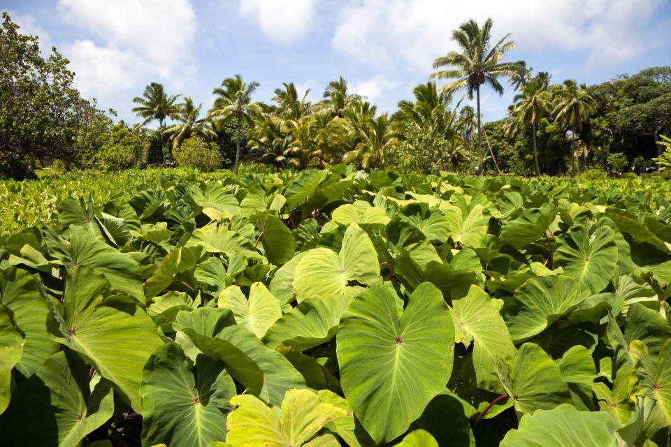 La faune et la flore, ile, cook, pacifique, végétation, flore, rarotonga, plante, avarua, cocotier, taro