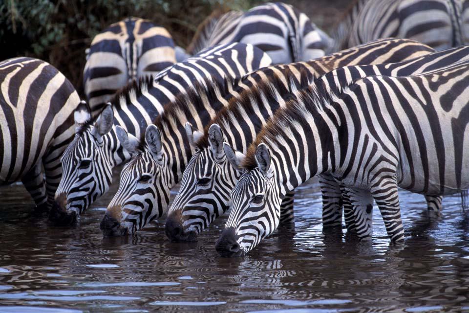 Los grandes mamíferos , Angola