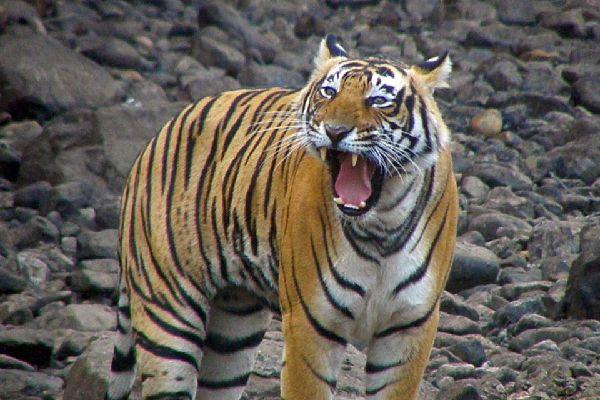 Las reservas de tigres , La reserva de Sariska, Rajastán , India
