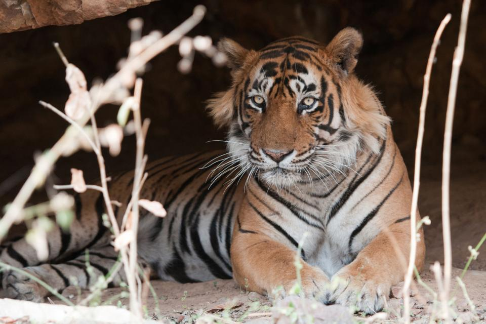 The tiger reserves , India