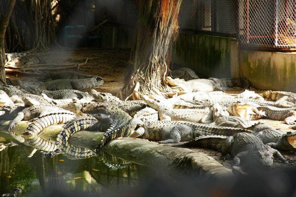 Les fermes de crocodiles de Mamallapuram , La réserve naturelle de Calimere , Inde