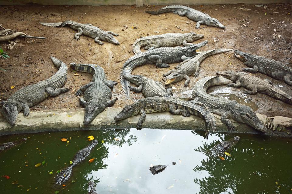 Les fermes de crocodiles de Mamallapuram , Inde
