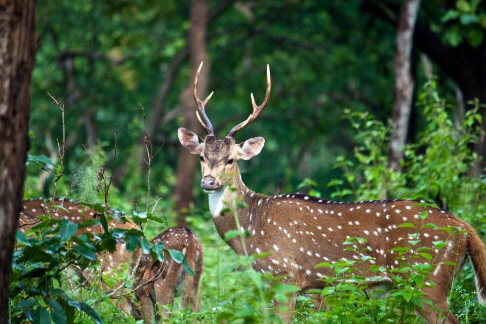 El parque nacional de Mudumalai , India
