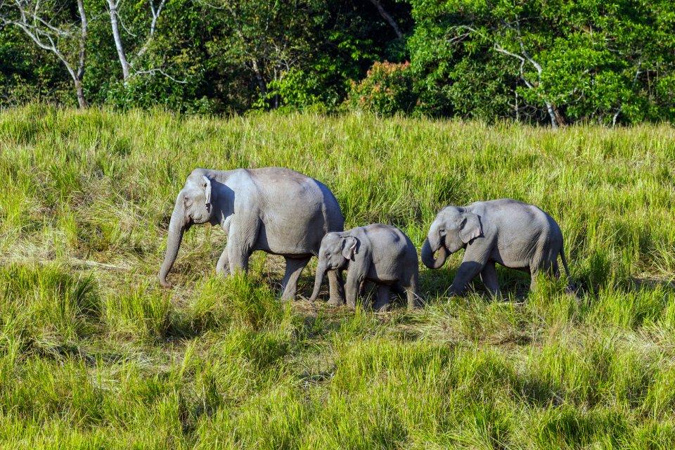 Le camp d'éléphants de Tepakkadu , Les éléphants , Inde