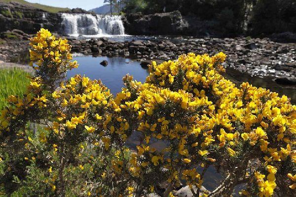 Die Flora , Besenginster, Irland , Irland