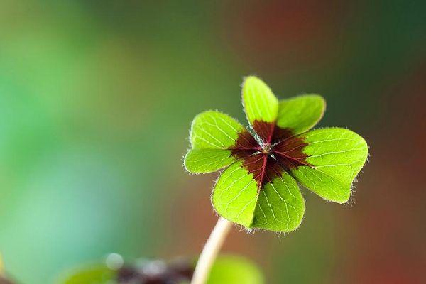 Die Flora , Ein vierblättriges Kleeblatt, Irland , Irland