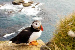 Gli uccelli , il puffin, uccello delle scogliere irlandesi. , Irlanda