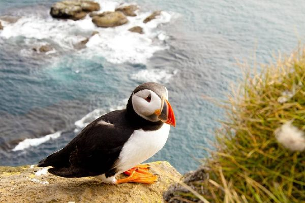 Birds , The puffin, the bird of the Irish cliffs. , Ireland