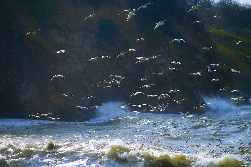 Die Vögel , Wasservögel, Irland , Irland