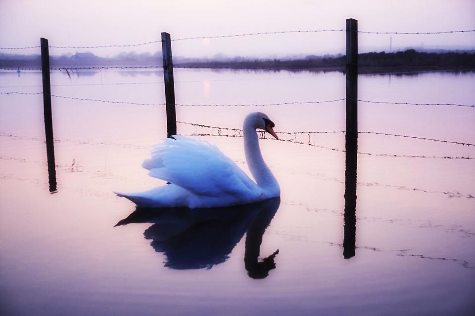 Los pájaros , Un cisne, Irlanda , Irlanda