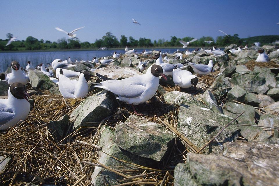 Los pájaros , Aves marinas irlandesas , Irlanda