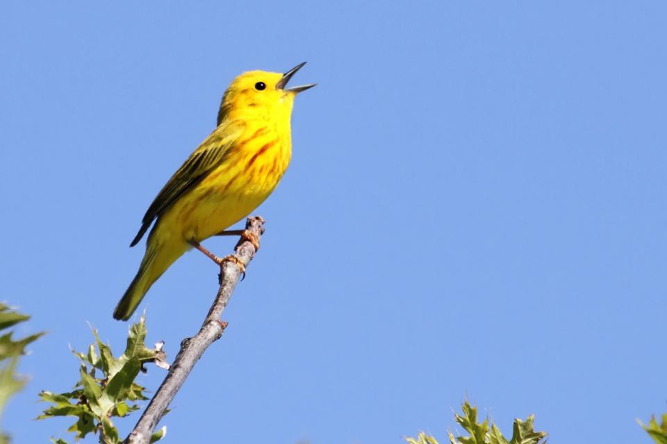 Les oiseaux , Antilles néerlandaises