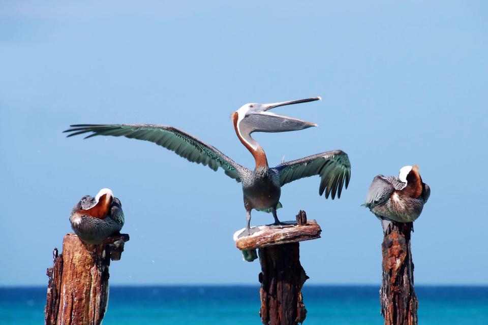 Les oiseaux , Perroquet bleu, île de Bonaire , Antilles néerlandaises