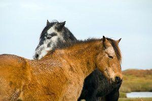 Los ponis , El poni irlandés , Irlanda