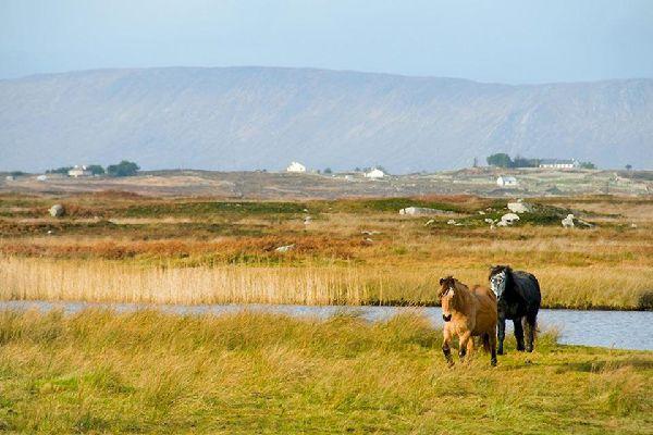 Die Ponys , Irland, Pferderassen , Irland