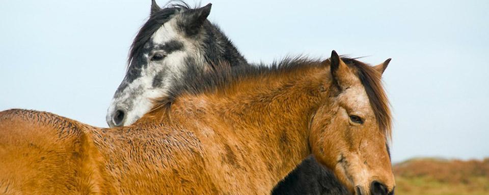 I pony irlandesi