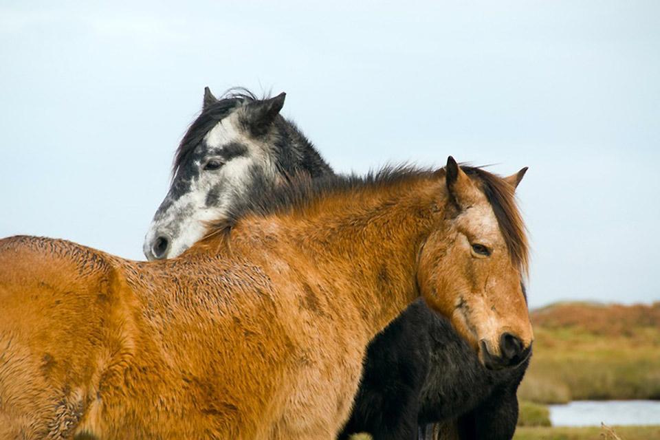 Les poneys , Les poneys irlandais , Irlande