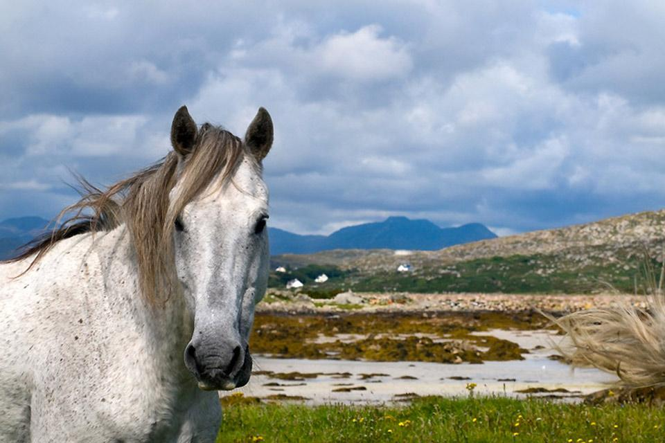 Ponies , A white poney, Ireland , Ireland