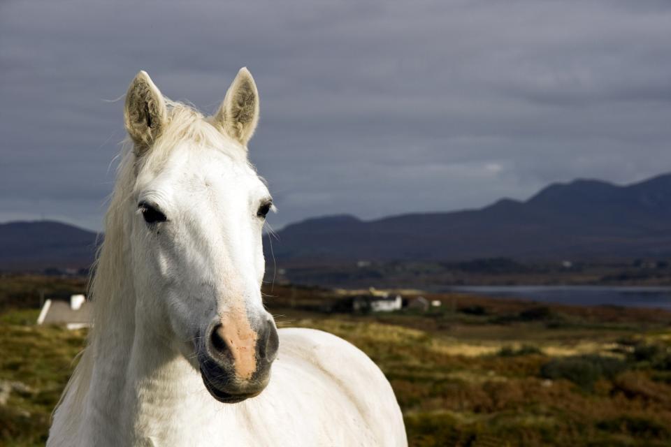 Ponies , Ireland: a white horse , Ireland