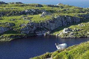 Le pecore , Irlanda, le pecore , Irlanda
