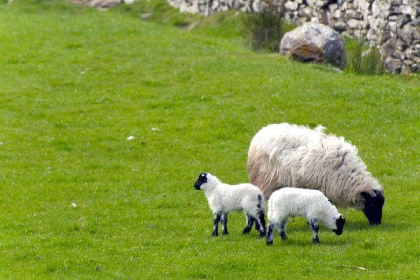 Die Schafe , Schafzucht, Irland , Irland