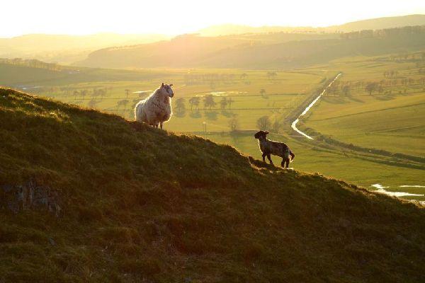 Die Schafe , Die Schafe von Irland , Irland