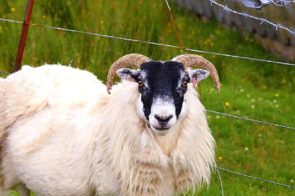 Die Schafe , Die Wolle von Irland , Irland