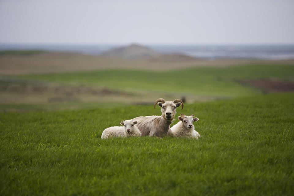 Terrestrial wildlife , Icelandic sheep , Iceland