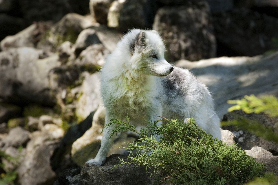 Terrestrial wildlife , Arctic foxes, Iceland , Iceland