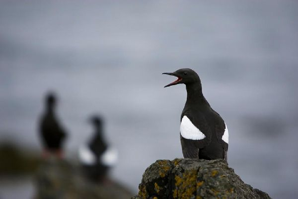 Marine wildlife , Icelandic sea bird , Iceland
