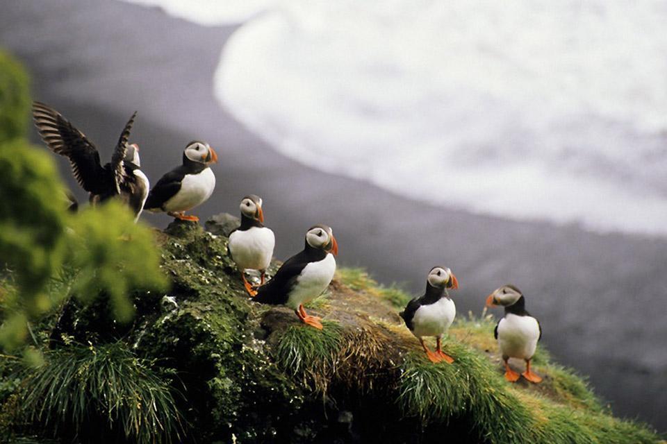 Die Meeresfauna , Meerestiere , Island