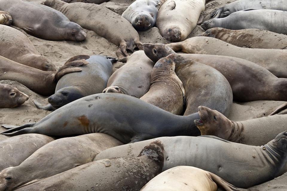 Die Meeresfauna , Isländische Seehunde , Island