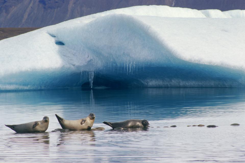 La fauna marina , Mamíferos marinos islandeses , Islandia