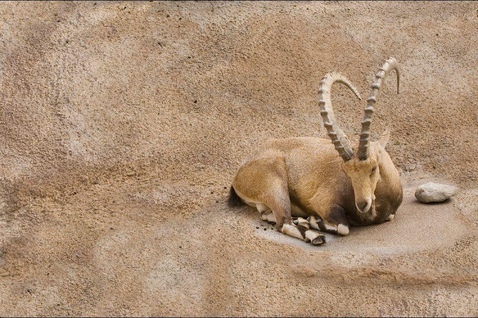 The Ibex of Nubia , Israel